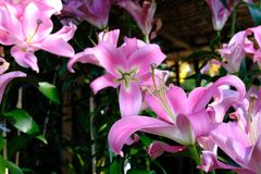Pink lily flower in garden. blooming flora. In park stock images