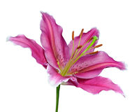 Pink Lily Flower on a Green Stick Isolated Royalty Free Stock Photography