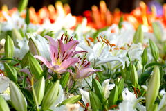 Pink lily flower in group of white lily flowers Stock Photo