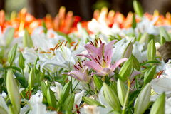 Pink lily flower in group of white lily flowers Stock Photography