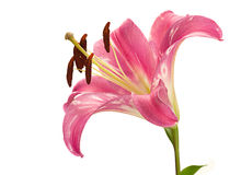 Pink lily flower head Stock Photos
