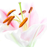 Pink lily flower Stock Images