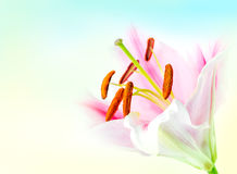 Pink lily flower Royalty Free Stock Photos