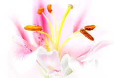 Pink lily flower Stock Image