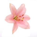 Pink lily flower Royalty Free Stock Photography