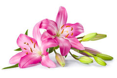 Pink lily flower isolated on white. Background Stock Photos