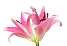 Pink Lily flower Stock Photos
