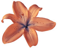 Pink lily flower on isolated white background with clipping path. Closeup.  no shadows.  For design. Royalty Free Stock Photos