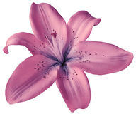 Pink lily flower on isolated white background with clipping path. Closeup.  no shadows.  For design. Stock Photography