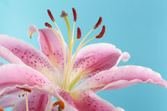 Pink lily flower over blue Stock Photo