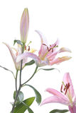 Pink lily flower over white Stock Photography