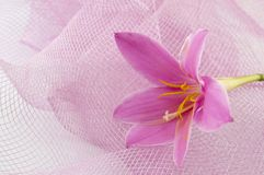 Pink lily flower with pink background Royalty Free Stock Photography