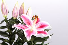 Pink Lily flower Stock Photo