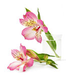 Pink lily flower in the vase. On a white background Royalty Free Stock Image