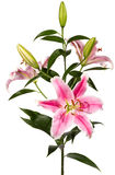 Pink Lily flower Royalty Free Stock Image