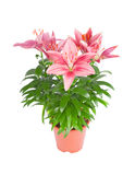 Pink lily in flowerpot isolated on white Royalty Free Stock Photos