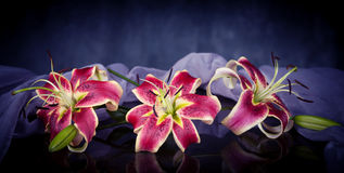 Pink lily flowers Royalty Free Stock Images