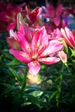 Pink lily flowers blooming in garden. Nature background. Represent flower for love, favorite for made gift to lover. With dark vignette stock photos