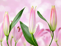Pink lily flowers. Stock Image
