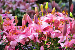 Pink lily flowers in closeup in Palmen Garten, Frankfurt am Main Stock Images
