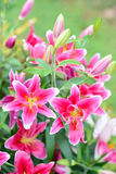 Pink lily flowers in the garden. Ink lily flowers in the garden on Mon Jam Stock Photography