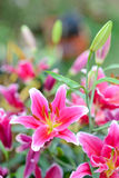 Pink lily flowers in the garden. Ink lily flowers in the garden on Mon Jam Stock Image
