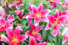 Pink lily flowers in the garden. Ink lily flowers in the garden on Mon Jam Royalty Free Stock Photography