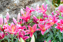 Pink lily flowers in the garden Stock Image