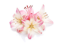 Pink lily flowers. Isolated on background Royalty Free Stock Image