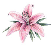 Pink lily flowers isolated on white background. Watercolor handwork illustration.  Royalty Free Stock Photos