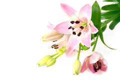 Pink lily flowers isolated on white. Pink lily flowers, corner background isolated on white Royalty Free Stock Photography