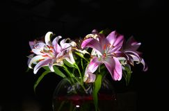Pink lily flowers Stock Photos