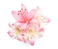 Pink lily flowers. Isolated on background Royalty Free Stock Images