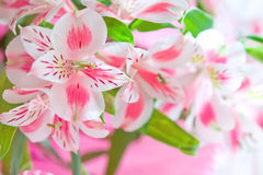 Pink lily flowers with soft focus. Closeup of pink lily flowers with soft focus. Floral design Royalty Free Stock Image