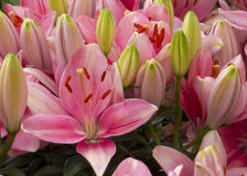 Pink Lily Flowers Stock Image