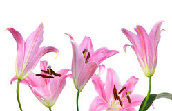 Pink lily flowers Stock Photo