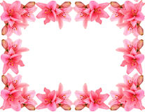 Pink lily-frame Stock Photography