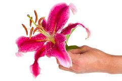 Pink lily in hand Royalty Free Stock Photos