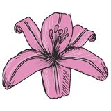 Pink lily Stock Photos