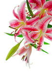 Pink Lily. Image of pink stargazer lily, isolated on white Stock Images