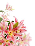 Pink lily isolated Stock Photos