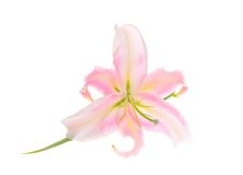 Pink Lily Isolated on White Background Stock Photo