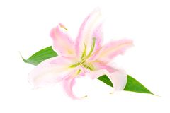 Pink Lily Isolated on White Background Stock Photography