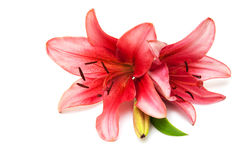 Pink lily isolated Royalty Free Stock Images