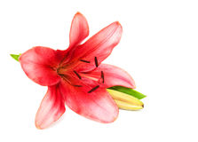 Pink lily isolated Royalty Free Stock Photo