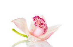 Pink Lily Isolated on White Background Stock Image