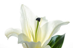 Pink Lily isolated on white background Selective Focus , Clipping path included. Royalty Free Stock Photo