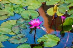 Pink lily. stock photos