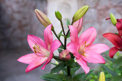 Pink lily. Large flower pink lily in garden Royalty Free Stock Images