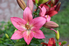 Pink lily. Large flower pink lily in garden Royalty Free Stock Photo
